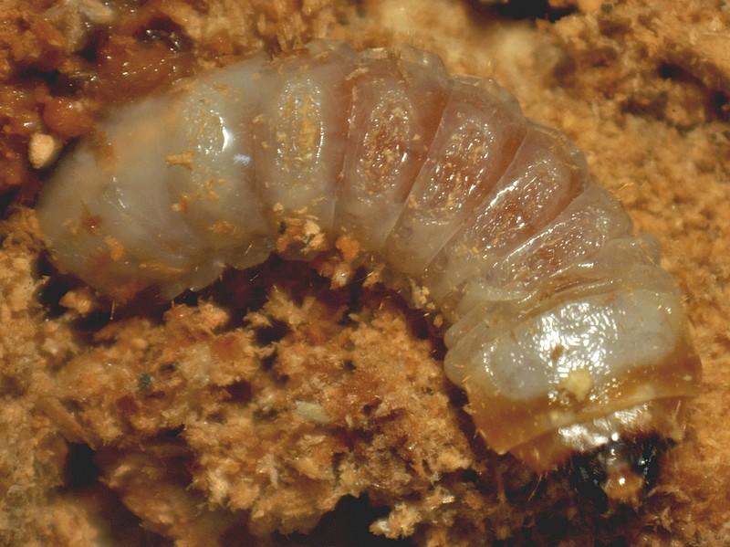comment identifier les insectes du bois termite capricorne lyctus. Black Bedroom Furniture Sets. Home Design Ideas