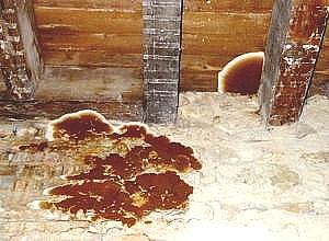 Le champignon lignivore, mérule pleureuse, polypore des caves